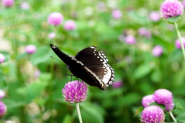 庭のセンニチコウの花の美しい蝶