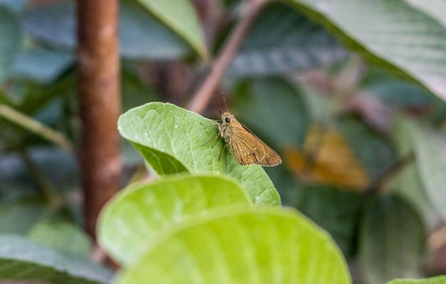 녹색 구아바 잎에 앉아 아름다운 나비가 저녁에 가까이 프리미엄 사진