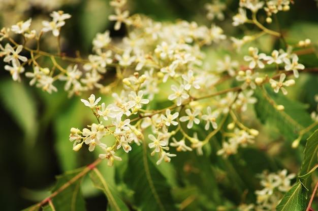 ニームの花の美しいクローズアップビュー
