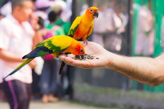 彼の手で食べ物を食べる美しい色のオウム