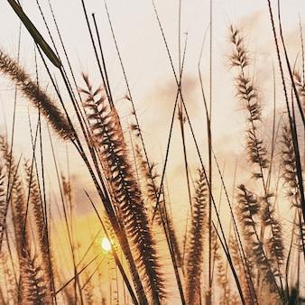 長い草のある畑の美しい色鮮やかな夕日