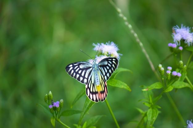 美しい一般的なカザリシロチョウのdeliaseucharisは、公共の公園の花の植物で休んでいます