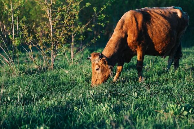 아름다운 젖소가 들판에서 방목하고 젖소는 깨끗한 녹색 풀과 깨끗한 환경 제품을 먹습니다.