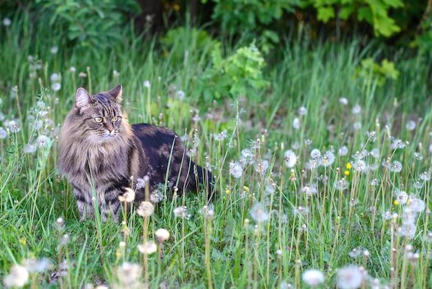Красивый милый пушистый кот гуляет в поле среди одуванчиков