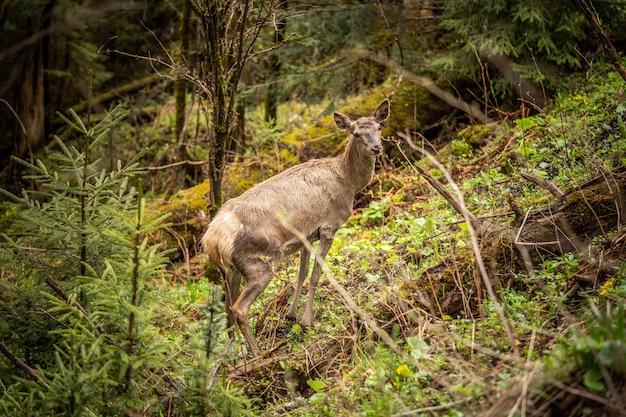 울창한 녹음 사이에 서서 주위를 둘러보는 아름다운 사슴