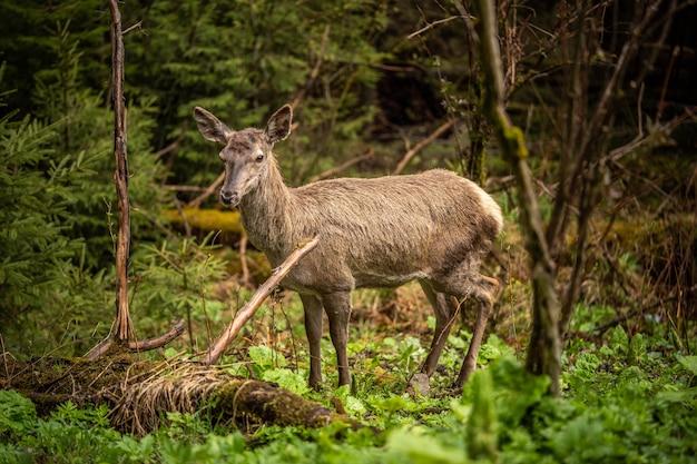아름다운 사슴은 무성한 녹지, 놀라운 야생 동물 사이에 서 있습니다