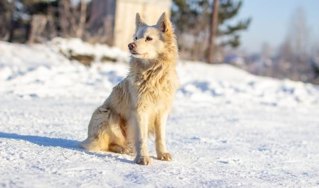 Красивая собака зимой сидит на снегу и наблюдает. зимой собаке не холодно.