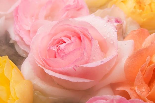 새벽 안개 속에서 아름다운 영어 핑크 장미가 꽃잎에 선물로 떨어졌습니다.