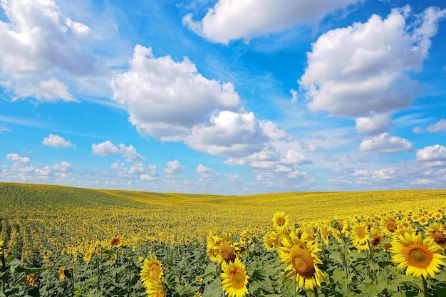 Красивое поле подсолнухов. ярко-желтые цветущие луговые подсолнухи на фоне голубого неба с облаками. солнечный летний пейзаж. естественный фон.