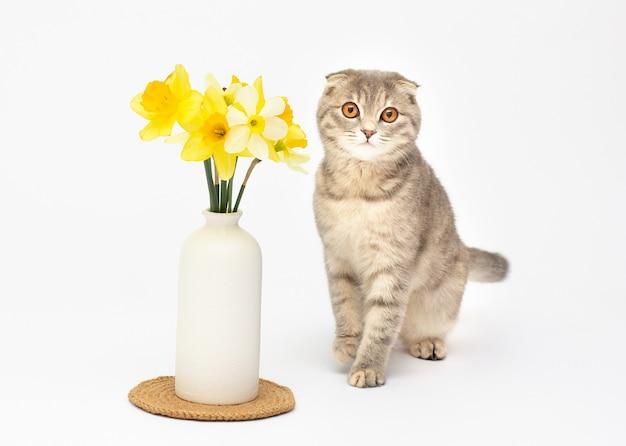 Красивая пушистая шотландская вислоухая кошка стис у вазы с желтыми цветами на белом фоне