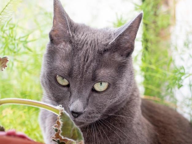 美しい灰色の猫が花を嗅ぎます。ペットと一緒にあなたの周りの世界を探検してください。ぼやけた緑の背景