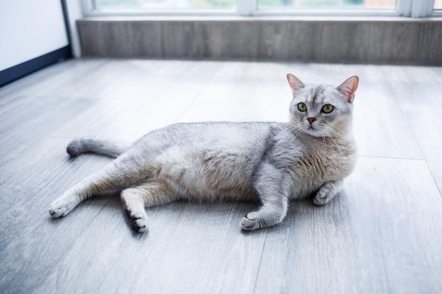Красивый серый пушистый кот лежит на ламинате. понятие о домашних животных.
