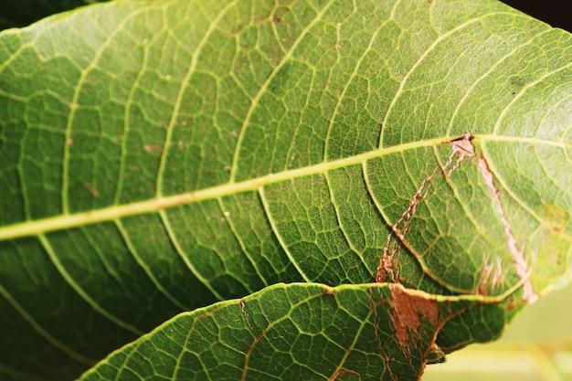 망고 잎의 아름다운 녹색 배경