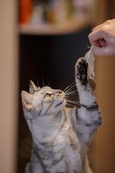 아름다운 회색 고양이가 소파에 앉아 깃털을 가지고 놀고 아오스테스를 바라보고 있습니다. 고양이 게임. 장난기 많고 재미있는 동물. 검역이 집에서 무엇을 할 것인지에 대한 아이디어와 개념