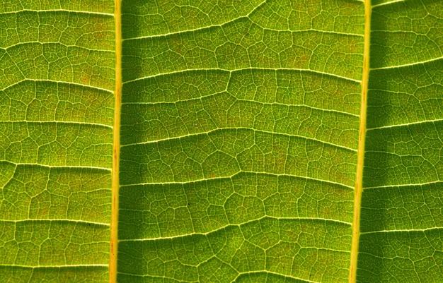 아름다운 jabon 잎(anthocephalus macrophyllus) 잎맥
