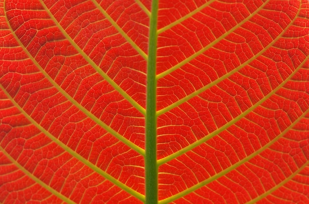 美しいジャボンの葉、anthocephalusmacrophyllus