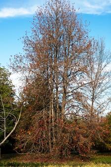 Красивый японский красный клен в солнечный осенний день. кленовые листья упали на землю вокруг дерева, октябрь, природа увядает