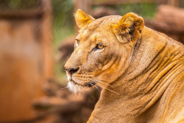 아름다운 암 사자. 보호받지 못하거나 다친 동물의 중요한 나이로비 고아원 방문. 케냐