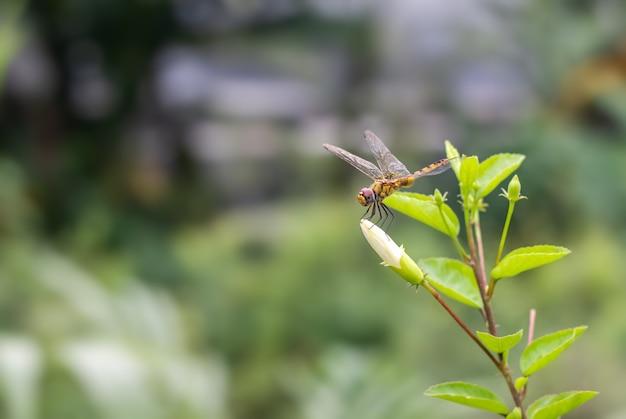 コピースペースのある庭の白いハイビスカスロサシネンシスの花のつぼみに休む透明な翼を持つ美しいオレンジ色のトンボ