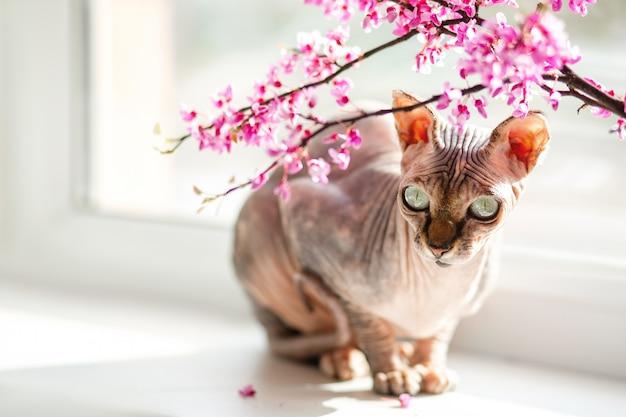 美しい血統のスフィンクス猫がピンクの花の窓に座っています。