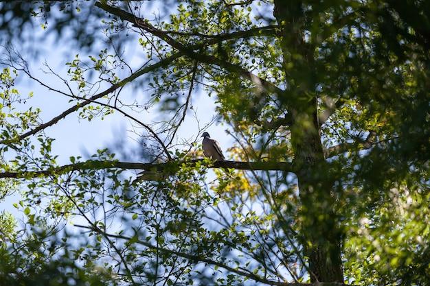아름다운 통통한 나무비둘기 콜럼바 팔룸버스는 봄에 자연 환경의 나뭇가지에 앉아 있었다