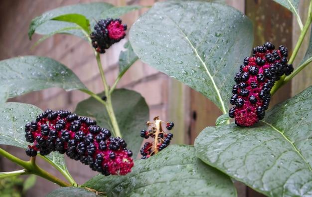 美しい有毒植物、アメリカのラコノスまたはフィトラッカは、庭で育ちます。アメリカの雑草。花壇にベリーが入った珍しい植物。明るい晴れた日に熟したベリーのクローズアップ。