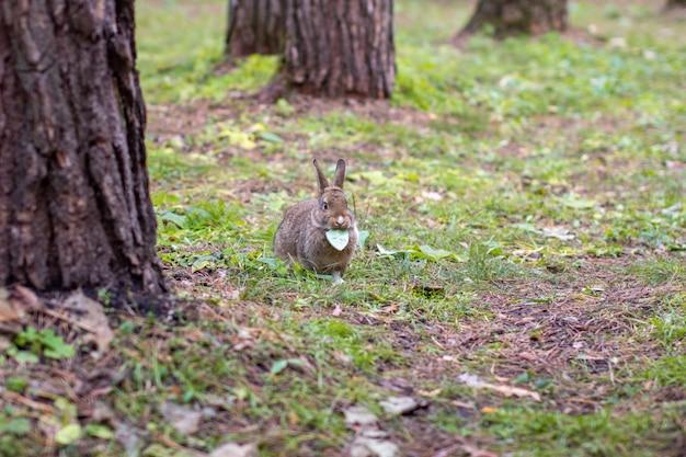 Красивый кролик с длинными ушами бегает по лесу и жует лист и листья травы.