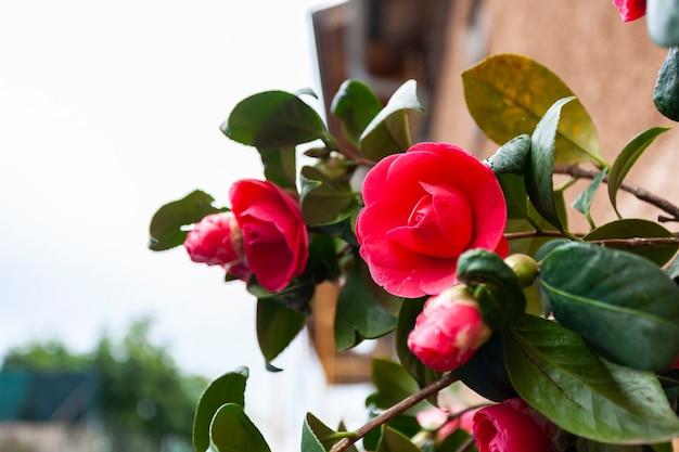 美しい赤い椿ジャポニカ、学名は椿、一般的な椿、椿ジャポニカです。