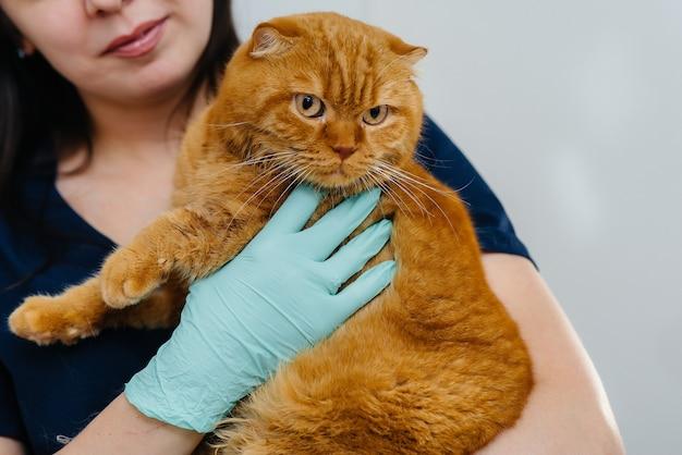 現代のクリニックでは、美しい赤い猫が獣医の腕の中に座っています。獣医学。