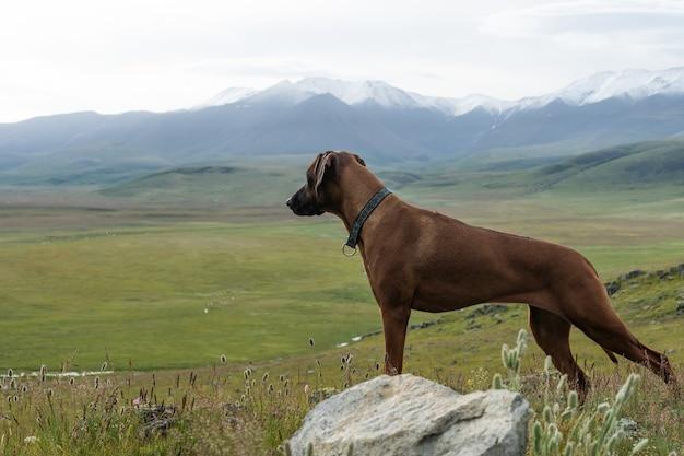 아름다운 빨간 개가 산 꼭대기에 서서 먼 곳을 바라보고 있습니다. 산에서 개 여행자