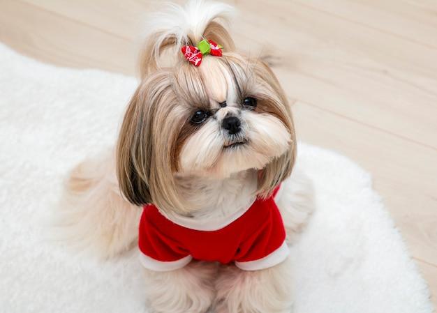 빨간 크리스마스 스웨터를 입고 아름다운 shih tzu 개