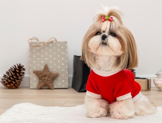Красивая собака ши-тцу в красном рождественском свитере
