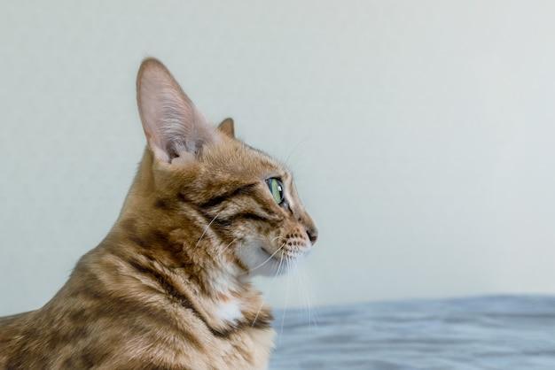 美しい斑点のあるベンガル猫が青いソファに横たわっています。側面図。