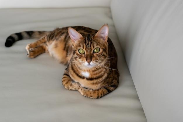 美しい斑点のある飼い猫がソファで休んでいる、彼女はまっすぐ見ている