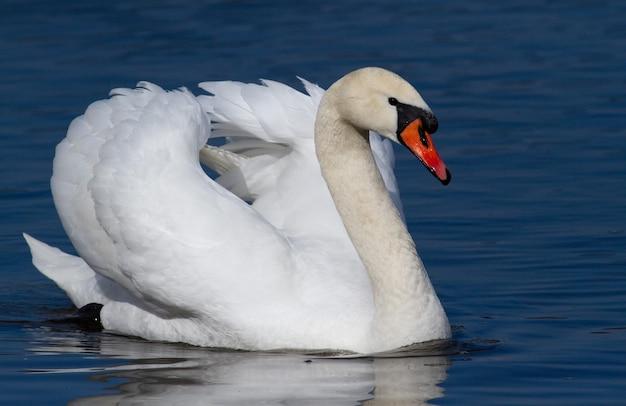 川に浮かぶ美しい白鳥
