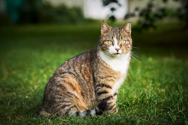 黄色い目を持つ美しいぶち猫が座ってカメラを見ています