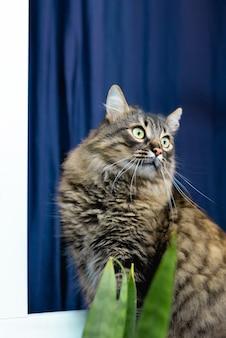 美しいぶち飼い猫が家に座って、横を向いて、青い背景に見えます。かわいい愛らしい猫