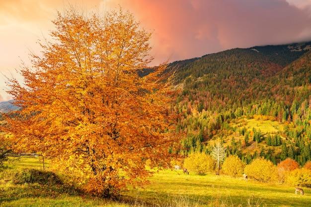 카르파티아 산맥의 계곡에 있는 아름다운 나무는 황금빛 잎으로 뒤덮여 있다