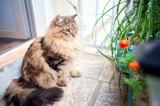 По балкону гуляет красивая очень пушистая кошка сибирской породы.