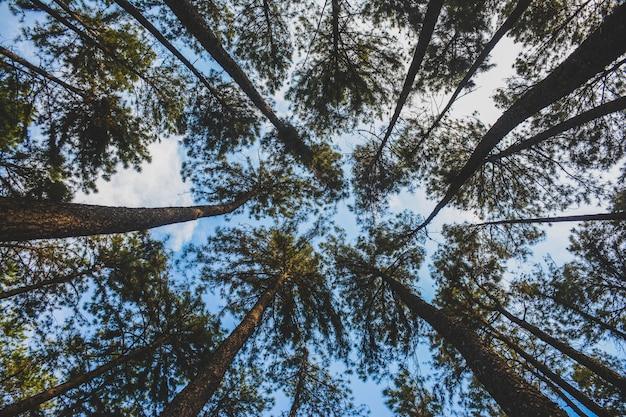 タイの夏の正午に森の中の大きくて背の高い松の木の美しい景色。