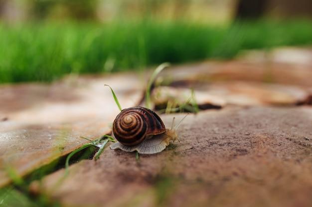 Красивая мокрая улитка ползет по садовой дорожке из камня