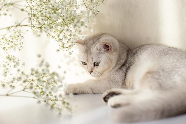 Красивая бело-серая британская кошка зелеными глазами лежит на белом столе с цветком гипсофилы.