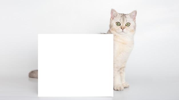 아름다운 흰색 영국 고양이는 텍스트를 위한 장소가 있는 가로 엽서 뒤에 서 있습니다.