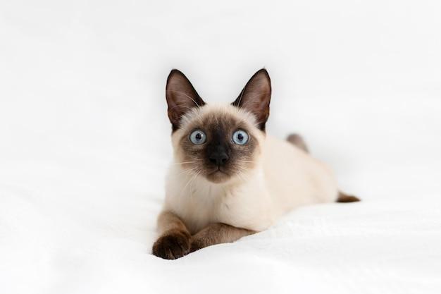 아름다운 흰 고양이는 밝은 배경에 놓여 있고 달려 있습니다.