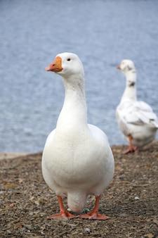 美しい白いガチョウが水辺に立っています。鳥のクローズアップ。ガチョウは目をそらします。オレンジ色のくちばし