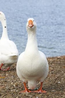 美しい白いガチョウが水辺に立っています。鳥のクローズアップ。ガチョウはフレームをまっすぐに見ます。オレンジ色のくちばし。