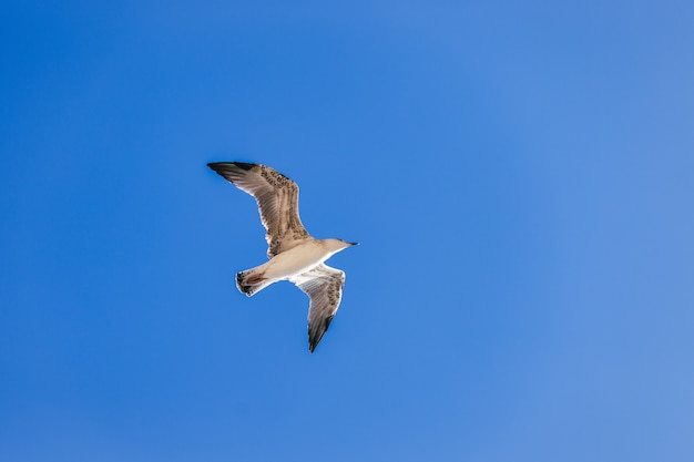 Красивая белая одинокая чайка летит на фоне голубого неба, паря над облаками, фото птицы