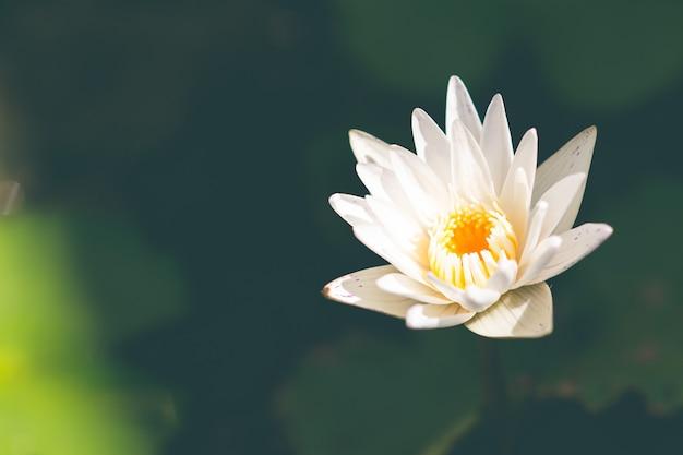 美しい白い蓮の花。仏教と法の象徴。平和の象徴。
