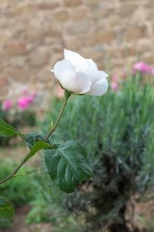 周囲の緑の葉に美しい白いバラが際立ちます