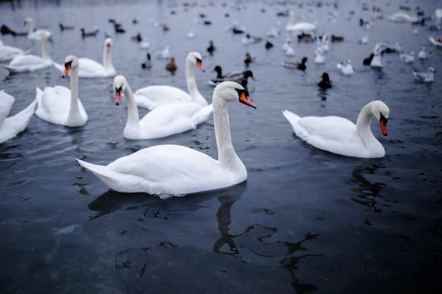 흑해 오데사에서 차가운 물에 떠있는 아름다운 하얀 백조.